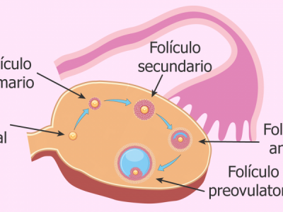 Contagem de Folículos Antrais (CFA) – Avaliação da Reserva Ovariana